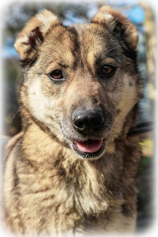 Метис - Без породы, Отдам собаку Сайру в хорошие руки